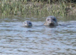 Seal pup and Mom (April 2014 Sculling  - E Medley)